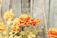 Marigold flower background Royalty Free Stock Images