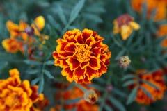 Marigold flower background Stock Photography