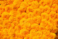 Marigold flower background Royalty Free Stock Photo