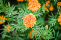 Marigold. Flower marigold backgrounds color art Royalty Free Stock Photography