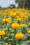 Marigold. Royalty Free Stock Image