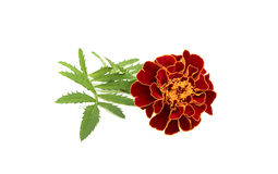Marigold flower on a branch. Royalty Free Stock Image