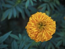 Marigold flower. Close up flower in the forest stock photography