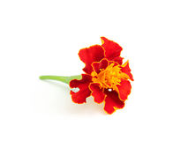 Marigold flower close-up. Royalty Free Stock Photography