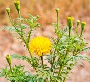 Marigold flower closeup of nature. Detail Stock Photos