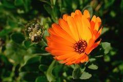Marigold flower Royalty Free Stock Photo