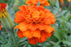 Marigold flower. Detailed photograph of a marigold bush with flowers and buds Stock Photography