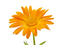 Marigold flower with dew drops isolated Royalty Free Stock Images