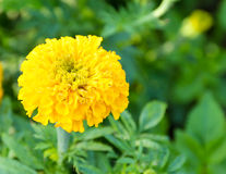 Marigold in the flower farm Royalty Free Stock Photos