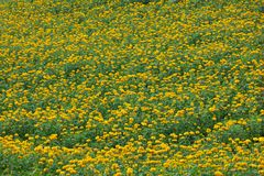 Marigold flower field Royalty Free Stock Image