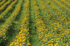 Marigold flower field Royalty Free Stock Images
