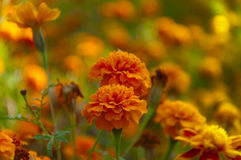 Marigold flower on  a field of flowers Royalty Free Stock Photos