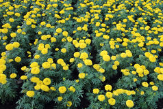 Marigold flower field Stock Images