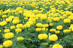 Marigold flower field Stock Photo
