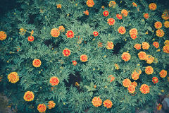 Marigold flower Stock Images