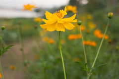 Marigold flower field in rural garden Royalty Free Stock Photography