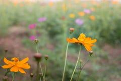 Marigold flower field in rural garden Royalty Free Stock Photos