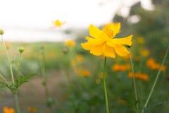 Marigold flower field in rural garden Stock Photography
