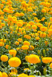 Marigold flower field. Stock Images