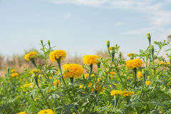 Marigold flower field. Stock Photos