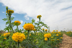 Marigold flower field. Stock Image