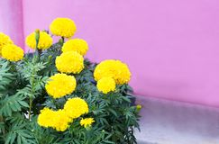 Marigold flower field,spring season yellow flowers,yellow Flower Royalty Free Stock Images