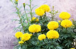 Marigold flower field,spring season yellow flowers,yellow Flower Royalty Free Stock Photo