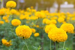Marigold flower field,spring season yellow flowers,yellow Flower Stock Photography