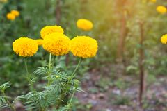 Marigold flower field,spring season yellow flowers,yellow Flower Royalty Free Stock Photography