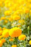Marigold flower field with sun light effect , vintage stlye. Stock Photos