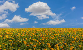 Marigold flower field Stock Photography