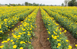 Marigold flower field Royalty Free Stock Image