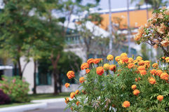 Marigold flower in front of blur house Royalty Free Stock Photos