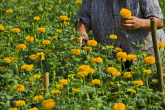 Marigold flower garden Royalty Free Stock Photo