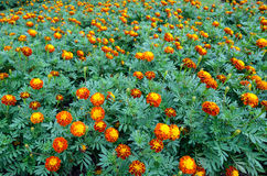 Marigold flower in  garden Royalty Free Stock Photo