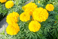 Marigold Flower Royalty Free Stock Photography