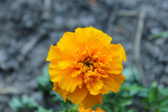 Marigold flower in the garden. A marigold flower in the garden Royalty Free Stock Image