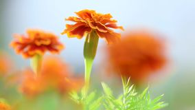 Marigold flower in garden. Marigold flower - Calendula plant in the garden. Shallow focus depth stock video footage