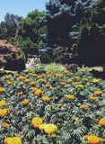 Marigold flower garden. Field of orange yellow flowers Stock Image