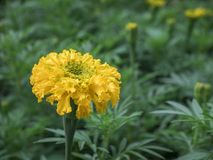 Marigold flower in garden.  royalty free stock photography