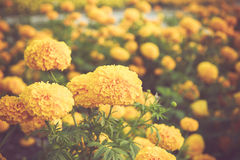 Marigold flower in garden on vintage retro color tone Stock Photos