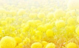 Marigold flower garden Stock Photos