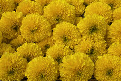 Marigold flower group in close up view. Group of fresh marigold flower in close up view Royalty Free Stock Image