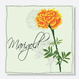Marigold flower Royalty Free Stock Image