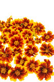 Marigold  flower heads over white Royalty Free Stock Photography