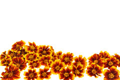 Marigold  flower heads over white background Stock Images