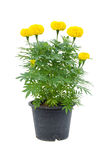 Marigold Flower In Pot Royalty Free Stock Image