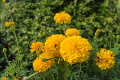 Marigold flower with the leaf. Under sunlight Stock Images