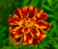 A marigold flower. With leaves as background Royalty Free Stock Photo