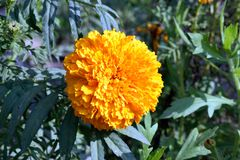 Marigold Flower with leaves and bud. Tagetes is a genus of annual or perennial, mostly herbaceous plants in the sunflower family Asteraceae. It was described as royalty free stock image